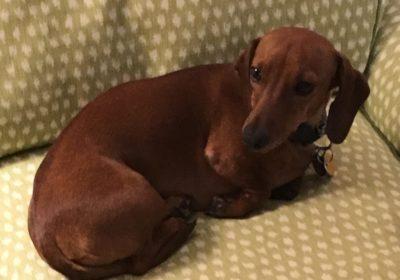 #donaldcohen-dogtrainingardmore #dachshunddogtraining