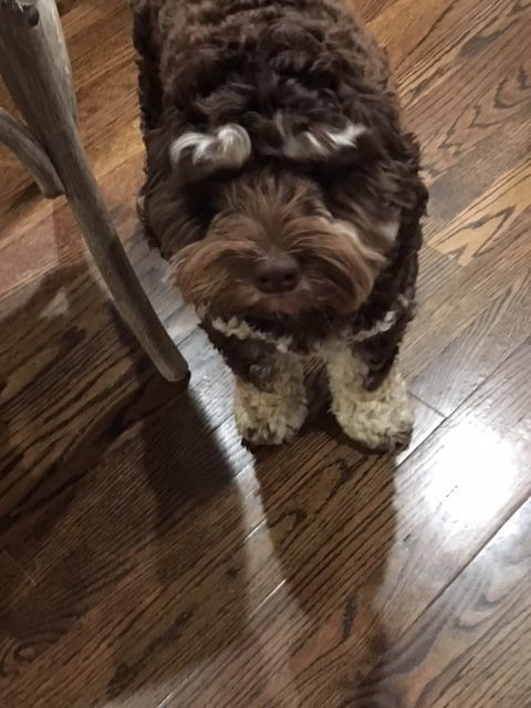 #homedogtraining #bestdogtrainingwynnewood #cockapoodogtraining