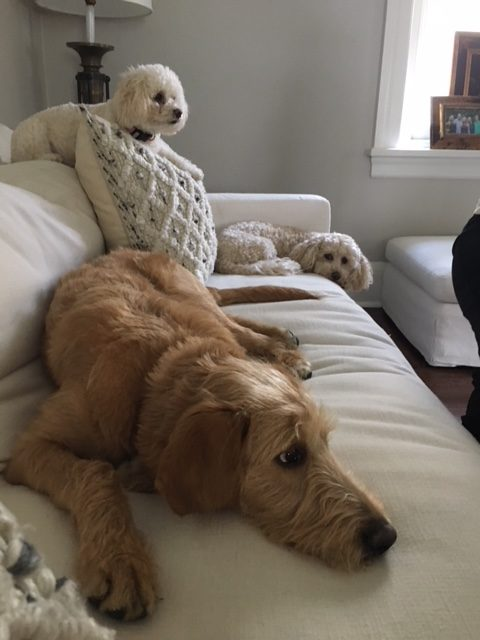 #miniaturepoodledogtraining #bestdogtraininglansdale #dogtrainerphiladelphia